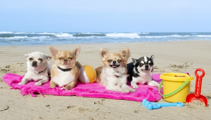 Chihuahuas sunning themselves on a beach