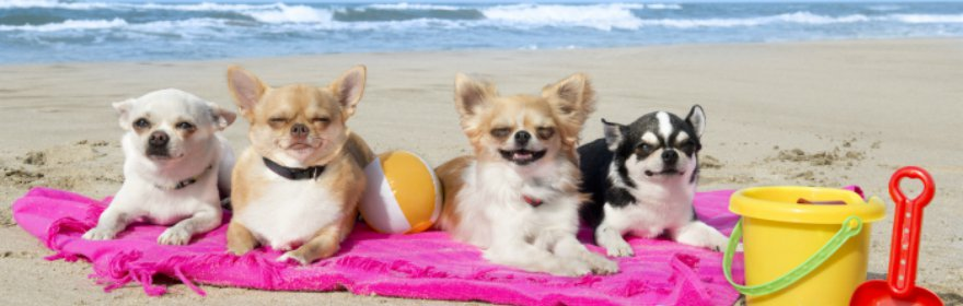 chihuahua on pink blanket on beach