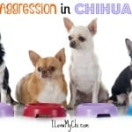 Dealing With Food Aggression In Chihuahua Dogs