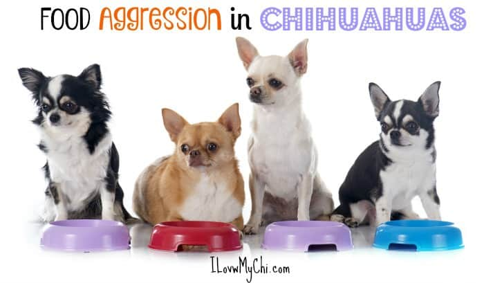 food aggression in Chihuahuas