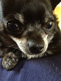 How I Got My First Chihuahua