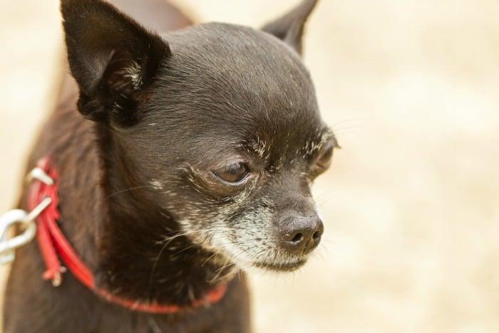 elderly Chihuahua