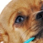 Chihuahua Teeth: How to Keep Those Pearly Whites Healthy