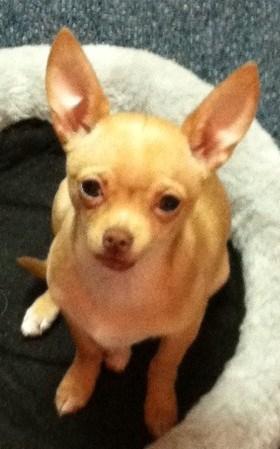 Cynthia's Chihuahua Story