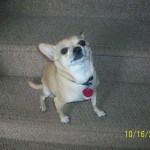 Sandra's Chihuahua Story