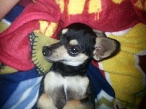 Cheech the Chihuahua