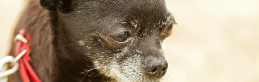 Caring For Your Elderly Chihuahua
