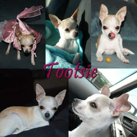 Christopher's Chihuahua Story