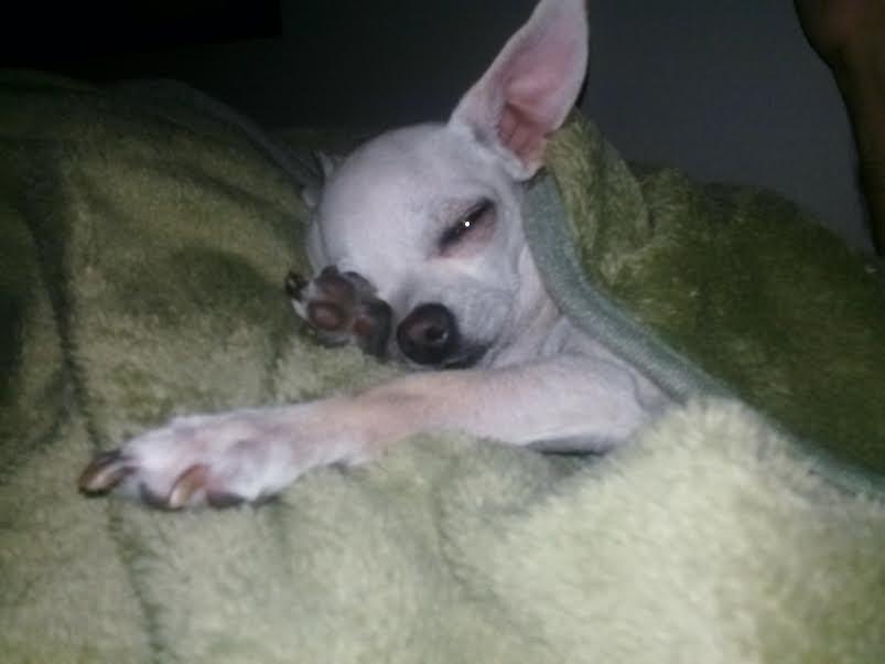 Minnie the Chihuahua
