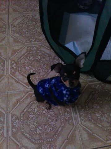 Carrie's Chihuahua