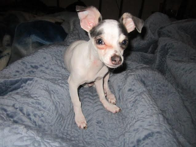 Cathleen's Chihuahua