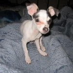 Cathleen's Chihuahua Story of Lucky Louie