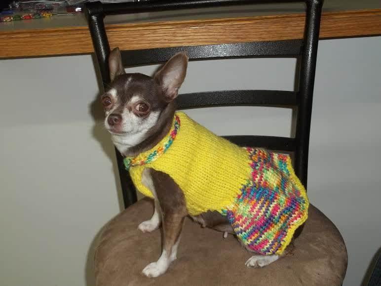 Pea the Chihuahua