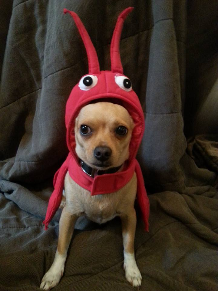 chihuahua wearing lobster costume