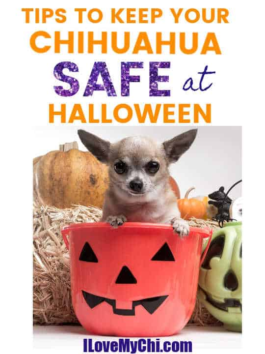 chihuahua sitting in Halloween pumpkin bucket
