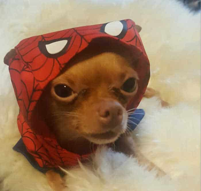 chihuahua dog wearing spider man costume