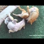 Chihuahuas Love to Play
