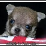 Chihuahua Puppy Furballs
