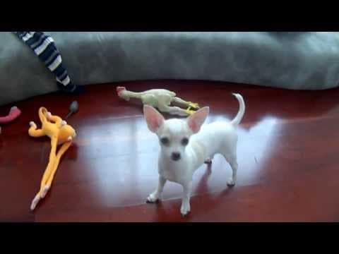 2 Cute Chihuahuas Play