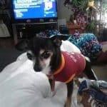 Marissa's Chihuahua Story