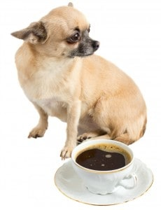 coffee and chihuahua