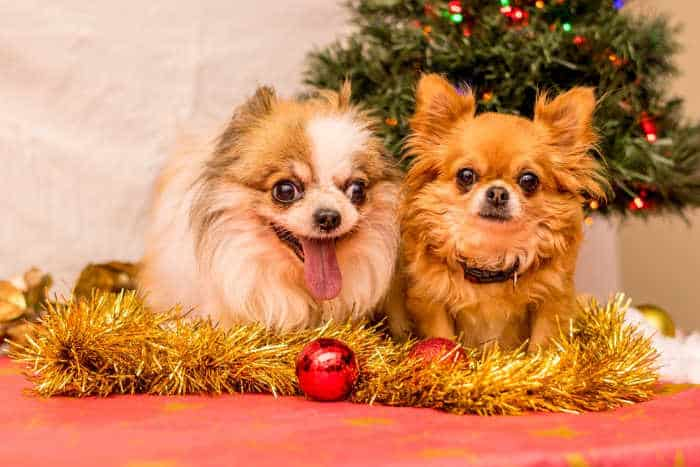 2 longhair Chihuahuas sitting with garland with Christmas balls