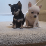 Chihuahua Puppies Play With The Hand