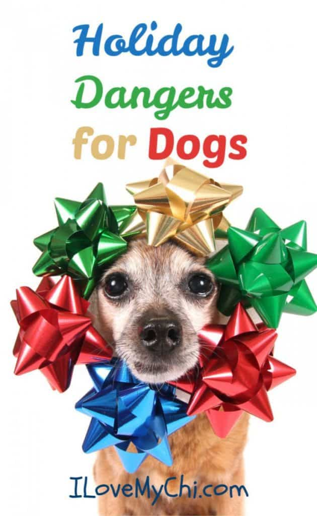 Chihuahua dog with Christmas bows on head