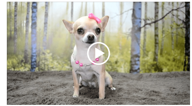 The Day in the Life of Megan the Chihuahua