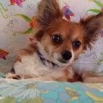 AJ's Chihuahua Story