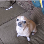 Chihuahua with a Bad Attitude