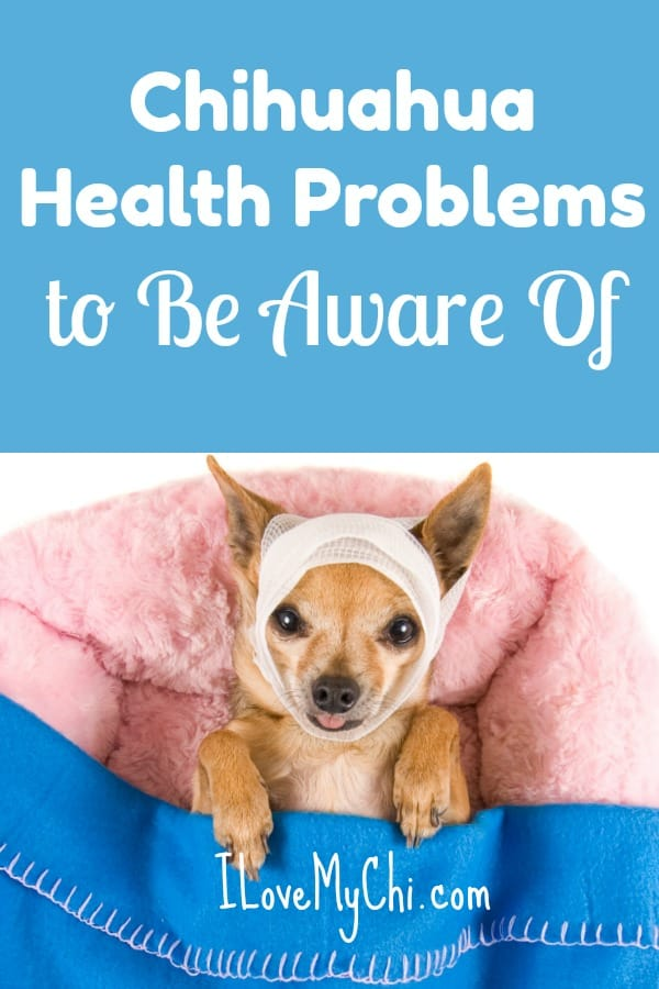 Chihuahuas are tough little dogs for their small size but they are prone to some health problems. Read about the illnesses and conditions chihuahuas can get in this article from I Love My Chi.