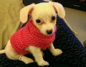 Beautiful little Bella belongs to Diana Sapeg (her mommy made her sweater)