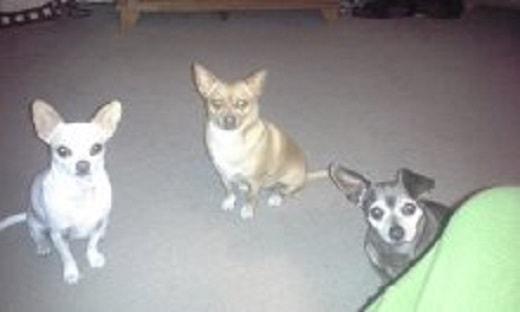 Ginny's 3 Chihuahuas