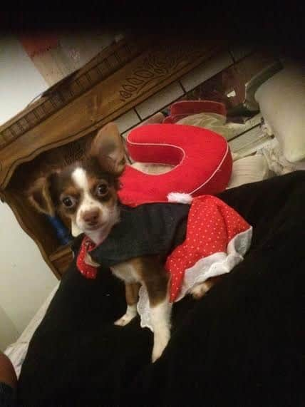 Maria's Chihuahua Story