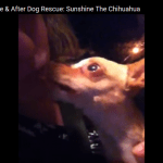 Sunshine The Chihuahua has an Incredible Transformation