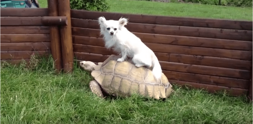 Turtle Riding Chihuahua