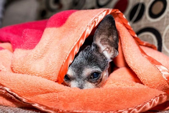 chihuahua face under orange blanket