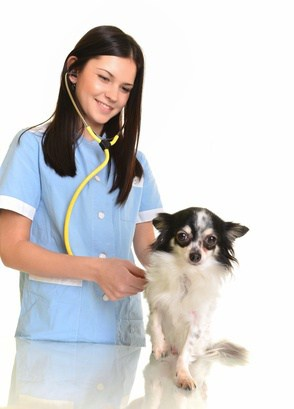 Veterinarian with chihuahua