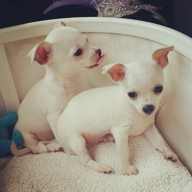 2 white male puppies