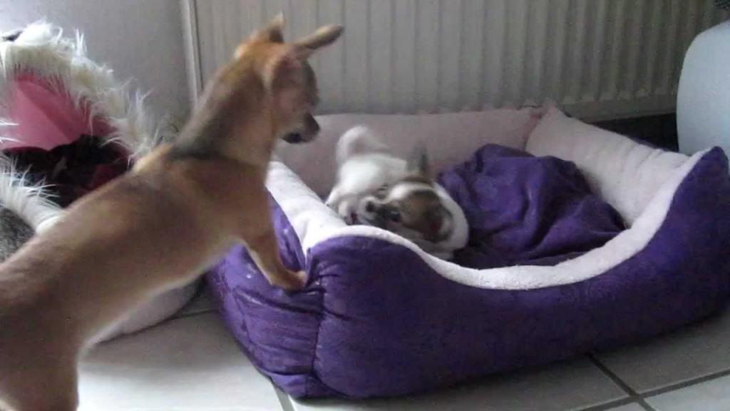 2 Chi Pups Play