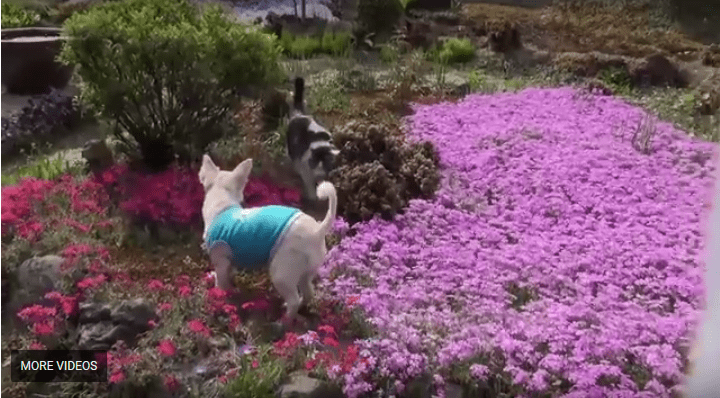 Chihuahua and Kitty Play in the Garden