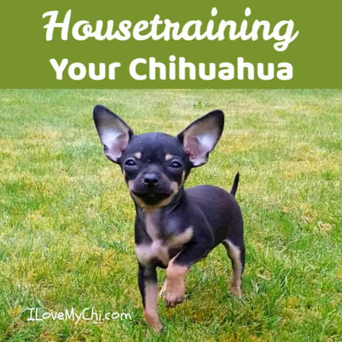 chihuahua puppy in grass