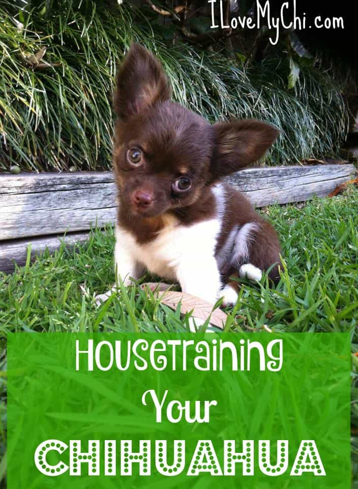 Housetraining your Chihuahua