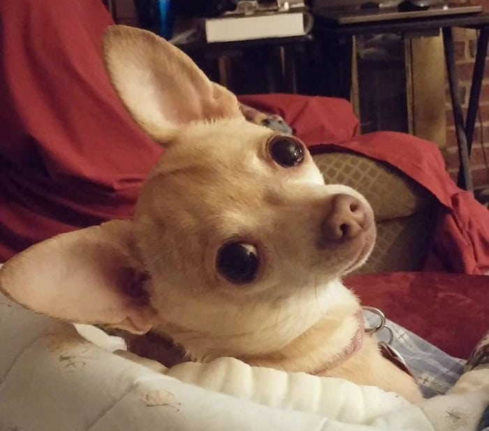 Isabelle the Chihuahua