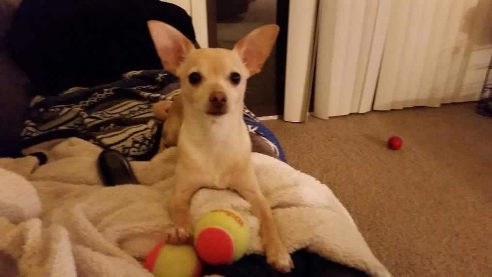 Tucker the Chihuahua