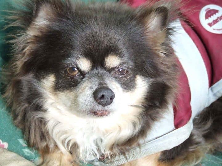 Russkie the Chihuahua