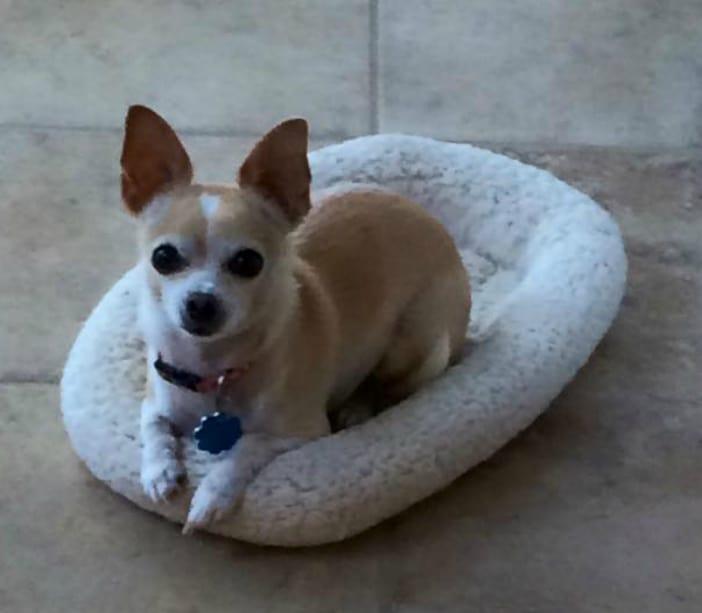 Molly the Chihuahua