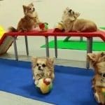 Cute Chihuahua does Tricks