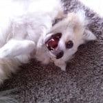 White Chihuahuas